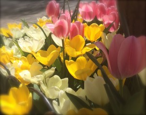 tulips edge blur